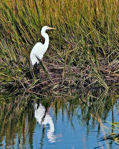 Bird watching on the marsh at Pawleys Island - white egret