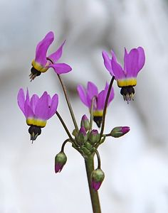 shooting stars --OMG these are my favorite California wildflower!  What a beautiful shot!