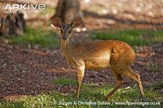 Red brocket deer (Mazama americana)