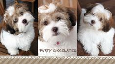 Find Out More On The Outgoing Havanese Dog Grooming Havanese Puppies For Sale, Havanese Dogs, Cute Puppies, Pet Dogs, Dogs And Puppies, Adorable Dogs, Maltipoo Breeders, Doggies, Maltese Dogs