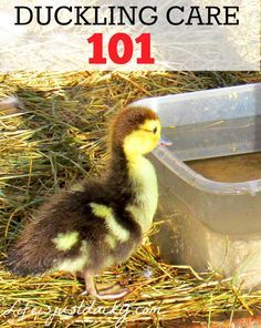 Raising Ducklings 101 - This is a basic guide about taking care of baby ducks. When we were given 8 Muscovy ducklings, we had to learn quickly. Raising Ducks 101.