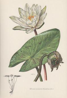 1953 White Waterlily Vintage Botanical Print by Craftissimo