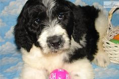 Black and White Parti Goldendoodles   Black And White Parti Goldendoodle Black and white parti male