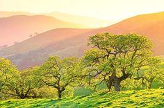 Spring trees at sunset. California Valley Oak, Quercus lobata. Deciduous tree.