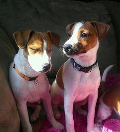 Jack Russell siblings - one of them looks sleepy.  Cute!