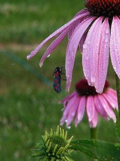Echinacea purpurea, Bíbor kasvirág, lángvörös - gazigazito.hu