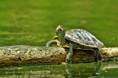 Turtle on a log by charity1 Nature Photography #InfluentialLime