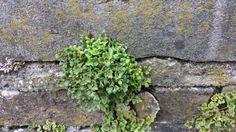 Muurvaren, deze bijzondere plant groeit in de oude vestingmuren van 's-Hertogenbosch.