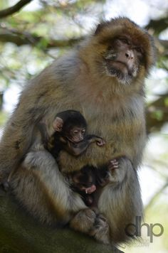 Barbary Macaque with 4 day day old baby