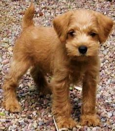 Apricot miniature schnoodle - schnauzer crossed with a poodle