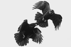Ravens the Bird | Ravens: