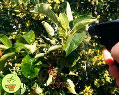 Böcekler için ev yapımı organik yaprak biti ilaçları