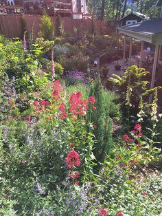 Jupiters Beard, catmint, foxglove, etc., in the slope garden.