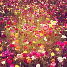 Acres of ranunculus. So pretty I kind of can't take it. If you ever find yourself driving through Carlsbad, California between March and May you must stop and visit The Flower Fields.