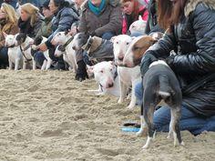 www.miniatuurbullterrierclub.nl index.php nl fotogalerij image?view=image&format=raw&type=orig&id=112