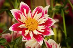 Lovely RT  ‏Steve Francis  Dahlia 'Fashion Monger' - very bright and lively.   #flowers #beautiful #flower #nature
