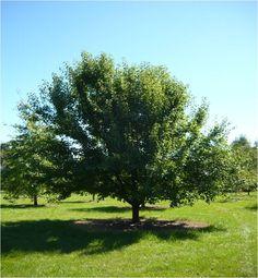 Manchurian Pear « Tree Nursery Western Australia | Mature Trees | Advanced Trees Perth