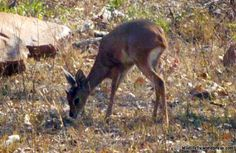 Male Steenbok (Raphicerus campestris) foraging for food in the South African savannah.