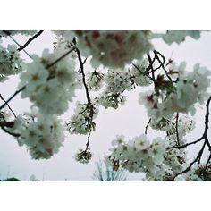 【otafilm314】さんのInstagramをピンしています。 《#MINOLTA#minolta#MINOLTAsweet#ota_minolta#lomographyfilm#filmphoto#lomography#35mmfilm#film#filmphotography#35mmphotography#35mmcamera #春#桜#フィルム一眼#フィルム#フィルムカメラ#フィルム写真#フィルム部#フィルムに恋してる#フィルム写真普及委員会#フィルム貧乏#写真撮ってる人と繋がりたい#フィルム好きな人と繋がりたい#ファインダー越しの私の世界》