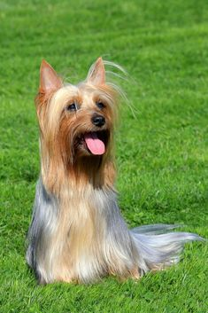 Silky Terrier Dog Breed Information, Pictures, Characteristics & Facts Silky Terrier Hunderasse Bild Toy Dog Breeds, Dog Breeds List, Terrier Dog Breeds, Guard Dog Breeds, Silky Terrier, Best Small Dog Breeds, Best Small Dogs, Dog Breeds Pictures, Dog Photos