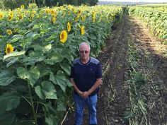 Grieving husband plants 4 mile ribbon of sunflowers, love carries on.