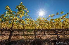 Gold 'n' sun  #visitnapavalley @trincherowines by bobmc