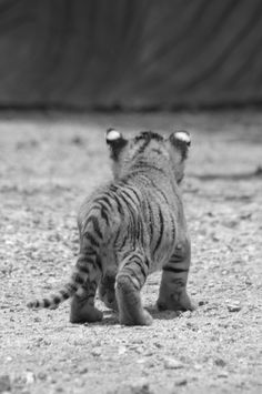 tiger cub- nothing is cuter than baby bums