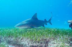 Bull shark, Carcharhinus leucas, Great Isaac Island