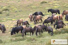 Bagual horses. La situación actual, historia y quizás futuro de los caballos salvajes en Patagonia. Una serie de artículos que aportan una visión constructiva desde distintas ópticas. Walter Raymond