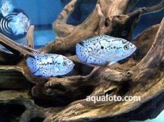 Grupo de Blue dempsey, en un acuario de agua dulce tropical.