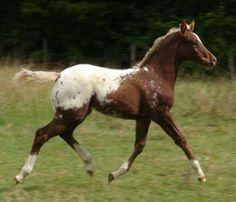 Appaloosa foals at Sparkling Acres Appaloosa Stud - New Zealand - Mighty Skiptivating
