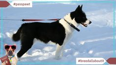 Breed All About It  Dog Breeds starting With K  Karelian Bear Dog  04/17/2017  http://www.youtube.com/watch?v=_2NACpy2NIE  Karelian Bear Dog  Narrator: Youd be thirsty too if youve been doing what this rare dog is bred to do.  Dr. Alice Moon-Fanelli: The Karelian Bear dog was originally bred to hunt bear.  Narrator: Sure theyve been domesticated but these courageous creatures are still considered primitive dogs.  Dr. Nicholas Dadman: Theyre much more like a kind of wild-type much more sort…