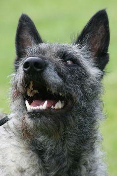 Dutch Shepherd Dog rough-haired silver