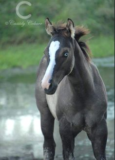"""Young grulla filly. (Shining C Grulla Horses) Like all dun horses, a grulla (or black dun) has a lighter body coat than mane and tail color, a distinctive dorsal stripe, horizontal striping on the back of the forelegs, often a transverse stripe over the withers, and the dark """"dun mask"""" on the face."""