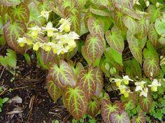 Blekgul sockblomma med bladverket Epimedium versicolor `Sulphureum`     (Elfenbloem). För plantering vid trappan mot carporten?