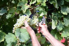 Harvest of Prosecco in the land of Treviso Agriturismo Duca di Dolle