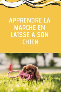 Découvrez vite comment apprendre la marche en laisse à votre chien ! Vous allez voir qu'avec les bonnes techniques, c'est très facile ! Education Canine, Cavalier King Charles, Border Collie, Whisky, Dog Training, Dogs And Puppies, Your Dog, Terrier, Cute Animals