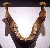 LA MANDIBULA DE MAUER. Fue una mandíbula fosilizada de un homínido del Paleolítico inferior encontrada en Mauer. Pertence al homo heidelbergensis, y tiene mas de 500.000 años de antigüedad.