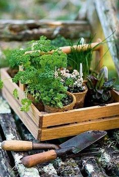 pots of herbs to plant in the garden
