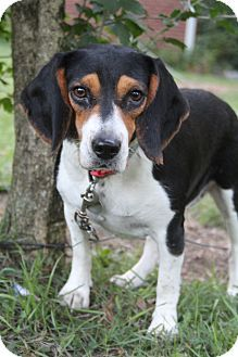 Bedminster, NJ - Beagle. Meet Charlie Kate, a dog for adoption. http://www.adoptapet.com/pet/11377403-bedminster-new-jersey-beagle