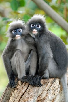 Species of dusky leaf monkey – A Selection of Pins about Animals Primates, Mammals, Rare Animals, Jungle Animals, Animals And Pets, Funny Animals, Strange Animals, Beautiful Creatures, Animals Beautiful
