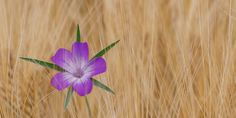 #bloom #blossom #blossomed #corn cockle #cornfield #cornflower #field #flower #nature #royalty free #summer