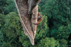 Tim Laman, named this year's Wildlife Photographer of the Year, used ropes and GoPro cameras to take a shot of an endangered ape climbing a tall tree for food