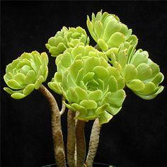 """La mayoría de las plantas de los viveros que se venden como """"Aeonium arboreum"""" son probablemente híbridos, distintos de las pocas poblaciones de la costa atlántica marroquí, para lo cualAeonium korneliuslemsii es, probablemente, su nombre válido."""