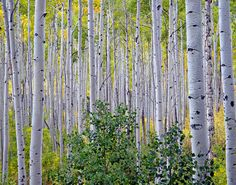 Quaking Aspen Trees. I looove these, but I don't want to end up with a forest of them, so I'll have to stick with birch.