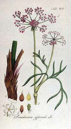 Hog's fenne;, Peucedanum officinale