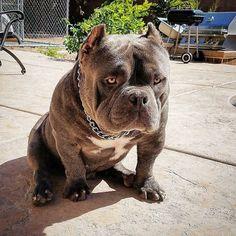 Meet Hulk The Pitbull - The Biggest Pit Dog of Dark Dynasty ⋆ American Bully Daily Hulk The Pitbull, Big Pitbull, Bully Pitbull, Cãezinhos Bulldog, Pit Dog, Best Dogs For Families, Funny Dog Pictures, Animals Beautiful, Animals And Pets