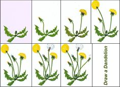 Draw a Dandelion Nursery Activities, Sequencing Activities, Spring Activities, Activities For Kids, Dandelion Drawing, Summer Camp Themes, Montessori Art, Free To Use Images, Paper Birds