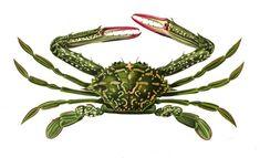 Lupa, Ce #crabe commun, animal marin de l'espèce des #crustacés, de la famille des portunidés, vit dans la plupart des mers du globe, à 5 mètres de profondeur environ. Sa carapace est large #numelyo #bestiaire