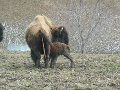 Giving birth 2015 on Boss Bison Ranch, Cadiz Ohio